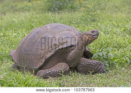 Galapagos Giant Tortoise In A Field