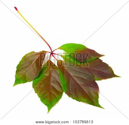 Multicolor Virginia Creeper Leaf (parthenocissus Quinquefolia Foliage)