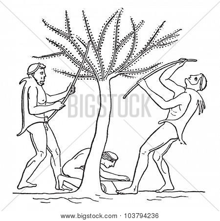 Olive harvest with saplings, vintage engraved illustration.