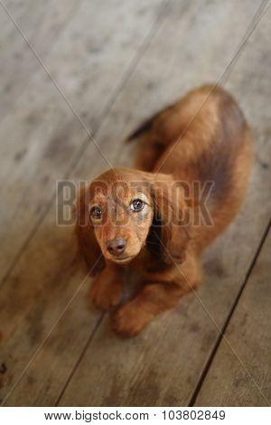 Portrait of Dashund dog