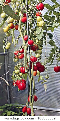 Red Tomatoes Ripening In A Greenhouse