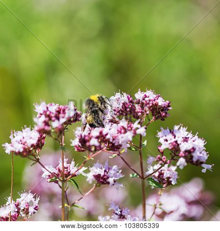 Beautiful Bright Flower Mint. Bees Pollinate The Flowers, Collect Nectar And Pollen From Flowers. Se