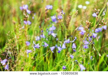 Beautiful Bright Wildflowers Bluebells. Selective Focus, Space In The Zone Blurring Compositions For