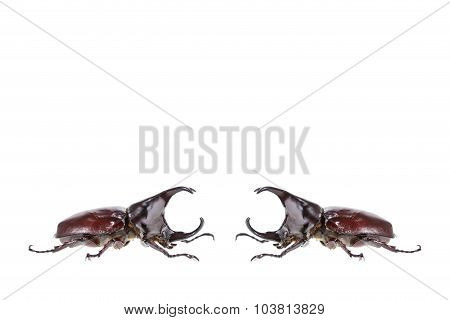 Close Up Male Fighting Beetle (rhinoceros Beetle) Isolated On White