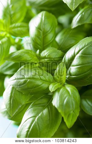 fresh basil leaves herb background