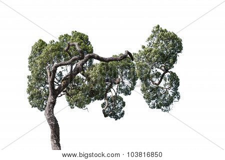 Tree With Crooked Branch Isolated On White