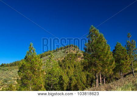 Gran Canaria, Caldera De Tejeda, Canarian Pine Trees