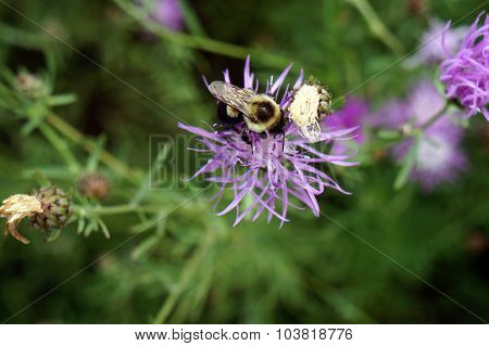 Bee on a Bee Balm Flower