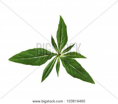 Evening Primrose Leaf