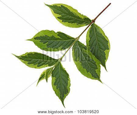 Weigela Leaf