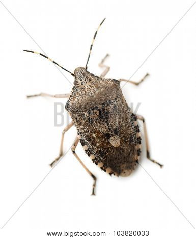 Mottled Shield Bug isolated on white