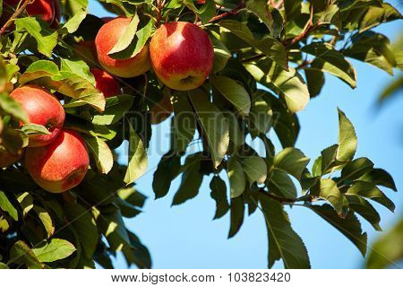 outdoor shot containing a bunch of red apples on a branch ready to be harvested