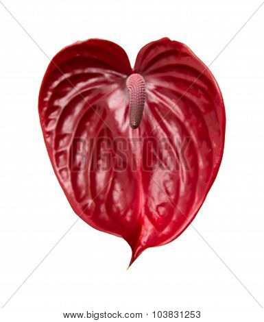 Dark Red  Anthurium
