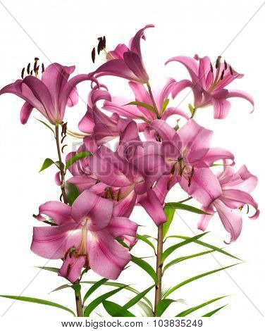 pink lily flower (lilium genus) isolated on white background