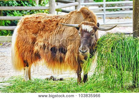 Yak Animal   Look  On Camera.