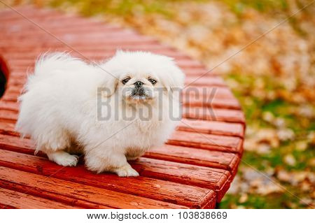 White Pekingese Pekinese Peke Whelp Puppy Dog On Wooden Bench