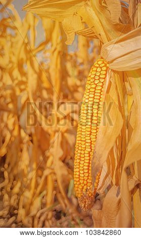 Maize Corn Ear On Stalk