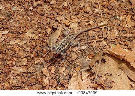 Brown Little Lizard In Natural Habitat