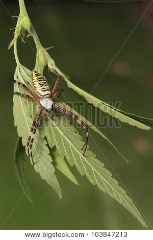 closeup Wasp Spider (Argiope bruennichi) on the leaf of  cannabis
