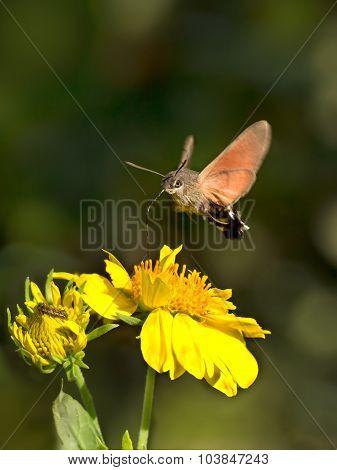 Sphingidae known as bee Hawk-moth enjoying the nectar of a flower. Hummingbird moth. Calibri moth.