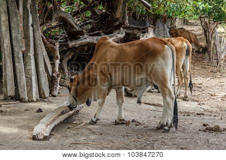 Domestic Cow In Nicaragua