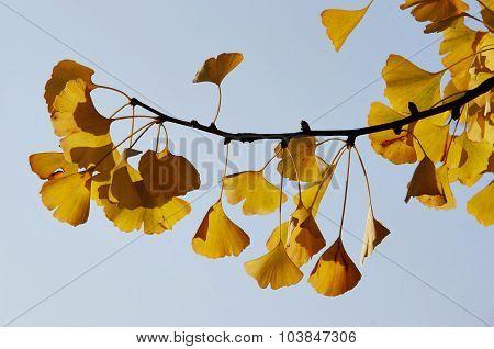 Ginkgo - Maidenhair Tree
