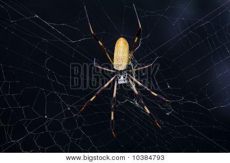 Golden Silk Orbweaver Spider (Nephila clavipes)