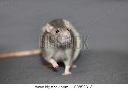 Portrait of domestic rat on a gray background