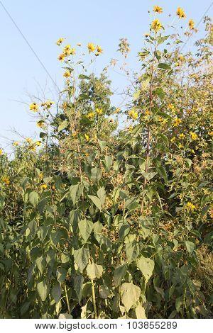 Yellow topinambur flowers