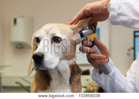 Ear examine by the veterinarian