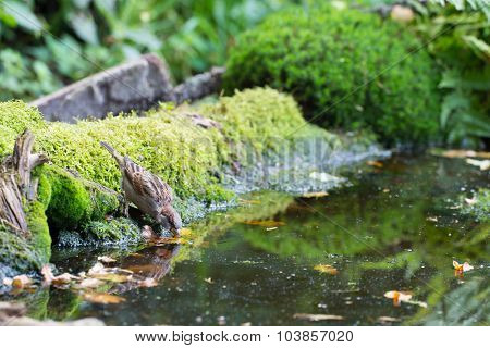 sparrow drinking water in lake