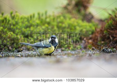 Great tit taking bath in lake
