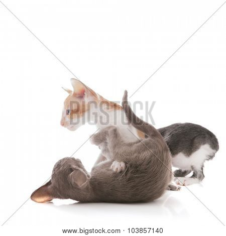 Playing young kittens isolated over white background