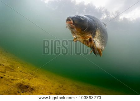 Fish (Carp of the family of Cyprinidae) in the pond near a bottom