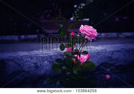 Blooming Pink Rose with the Bluish Background