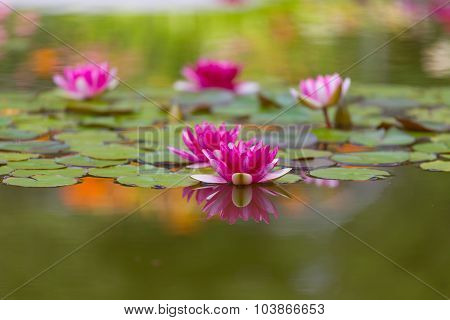 Pink Water Lily Is Beautifully Reflected In Lake Water