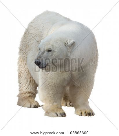 polar bear isolated on white background