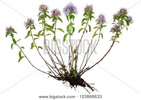 Medicinal plant: Thyme with root