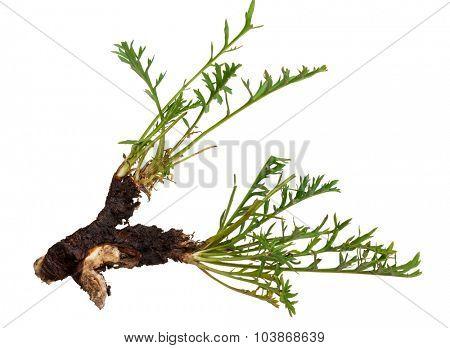 Medicinal plant: Patrinia intermedia