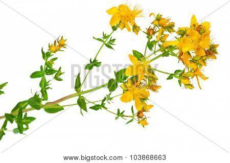 Medicinal plant: Hypericum perforatum. St. John's wort