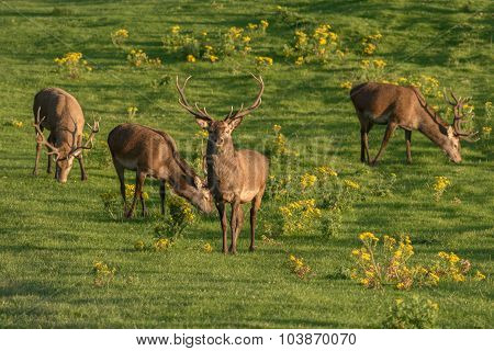 Several red deer grazing