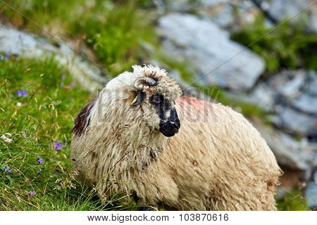 Highlands Sheep Closeup