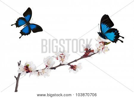 cherry tree flowers and two blue butterflies isolated on white background