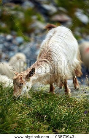 Goats On Mountain