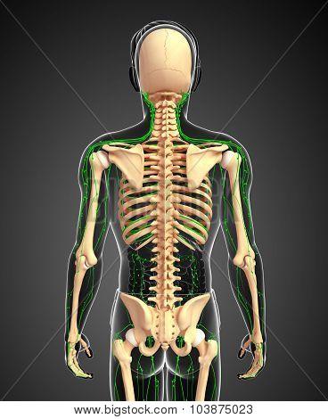 Lymphatic System Of Male Skeleton Artwork
