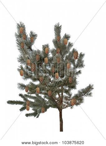 winter pine tree isolated on white background