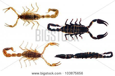set of four scorpions isolated on white background