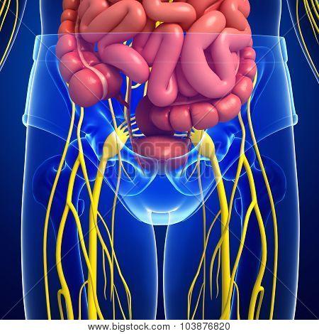Human Pelvic Girdle Nervous And Digestive System Artwork