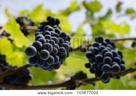 Grapevine with hanging bunches of red grape.