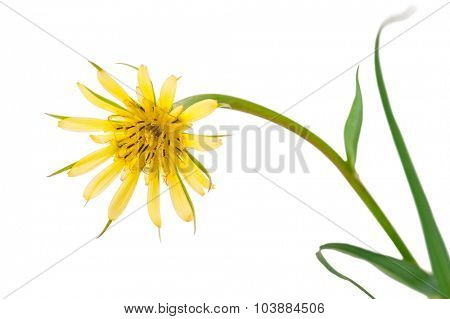 Flowers salsify isolated on white. Tragopogon dubius